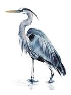Blue Blue Heron II