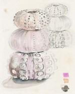 Sea Urchin Sketches II