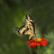 Butterfly Portrait V