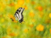 Butterfly Portrait VIII