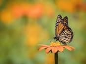 Butterfly Portrait IX