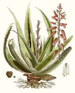 Antique Aloe I