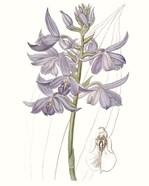 Lavender Beauties III