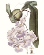 Lavender Beauties V