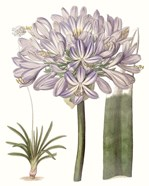 Lavender Beauties VI