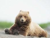 Bear Life VI