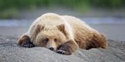 Bear Life X