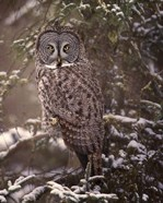 Owl in the Snow I