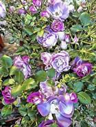 Climbing Lilac Rose