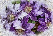 Dreams of Lilac Clematis