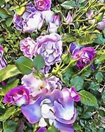Soft Lilac Rose