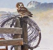 Saw-Whet Owl Rusty Fence