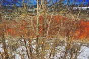 Red Yellow Willow