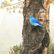 Mountain Bluebird On Dead Aspen