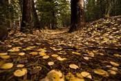 Aspen Leaves Bismark Trail Arizona Mtns