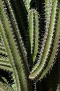 Saguaro Cactus Arms