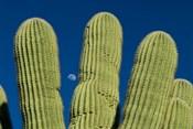 Color Saguaro Cactus Moon Arizona Superstition Mtns