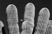 Saguaro Cactus Arizona Superstition Mtns
