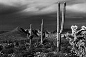 Saguaros Superstition Mtns Arizona