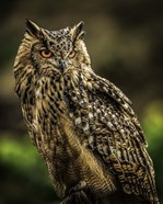 Wise Owl 2