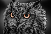 Wise Owl 5 Black & White