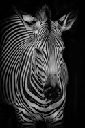 Zebra 3 Black & White