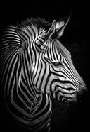 Zebra 4 Black & White