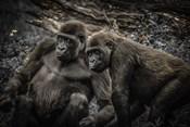 Gorillas 4