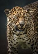Angry Jaguar 2