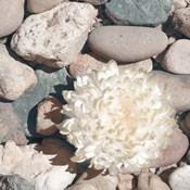 Stone Crop II