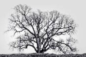 Grand Oak Tree I