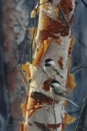 Black-Capped Chickadees - Sunlit Birch II