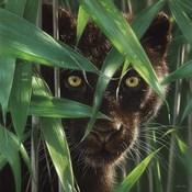 Black Panther - Wild Eyes