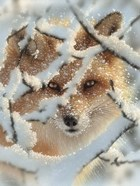 Red Fox - Hide and Seek