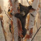 Curious Cub II