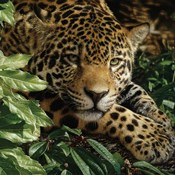 Jaguar - At Rest