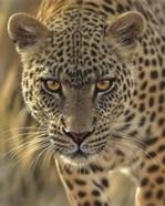 Leopard - On the Prowl