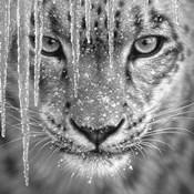 Snow Leopard - Blue Ice - B&W