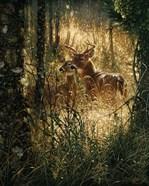 Whitetail Deer - A Golden Moment
