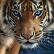 Tiger - Blue Eyes