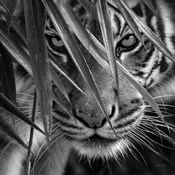 Tiger - Blue Eyes Bamboo - B&W