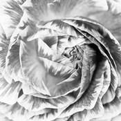 Ranunculus Abstract IV BW Light