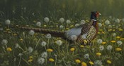 Dandy Rooster - Formosan Ring-necked Pheasant