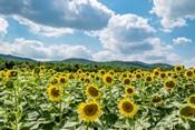 Sunflower Field Against Sky 02