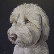 Labradoodle Goldendoodle White With Black Background