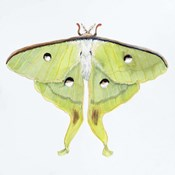 Butterfly Collection Luna Moth